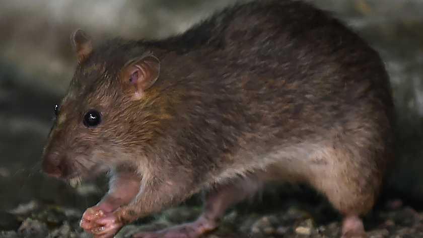 rat overlast